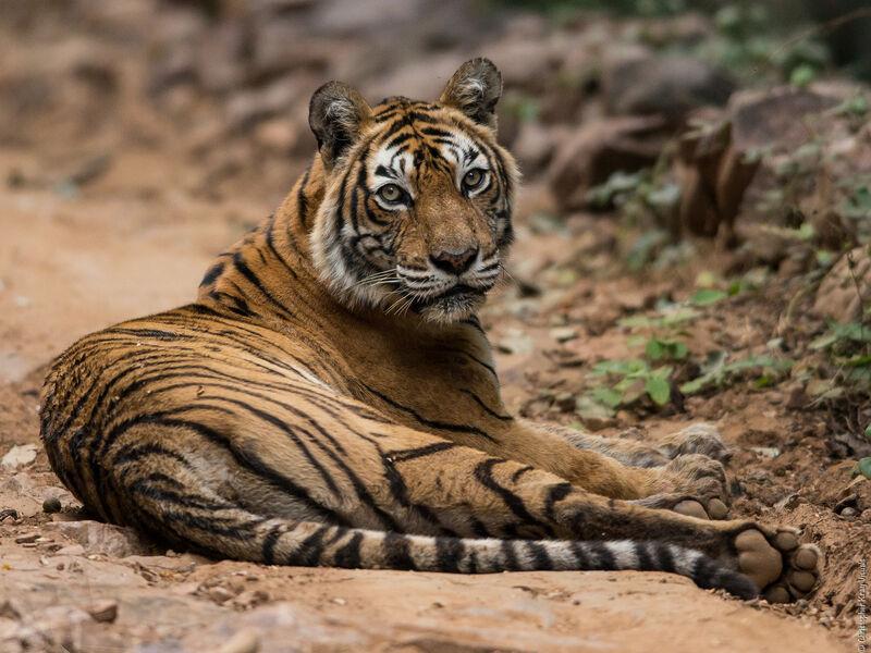 Löwen Indien