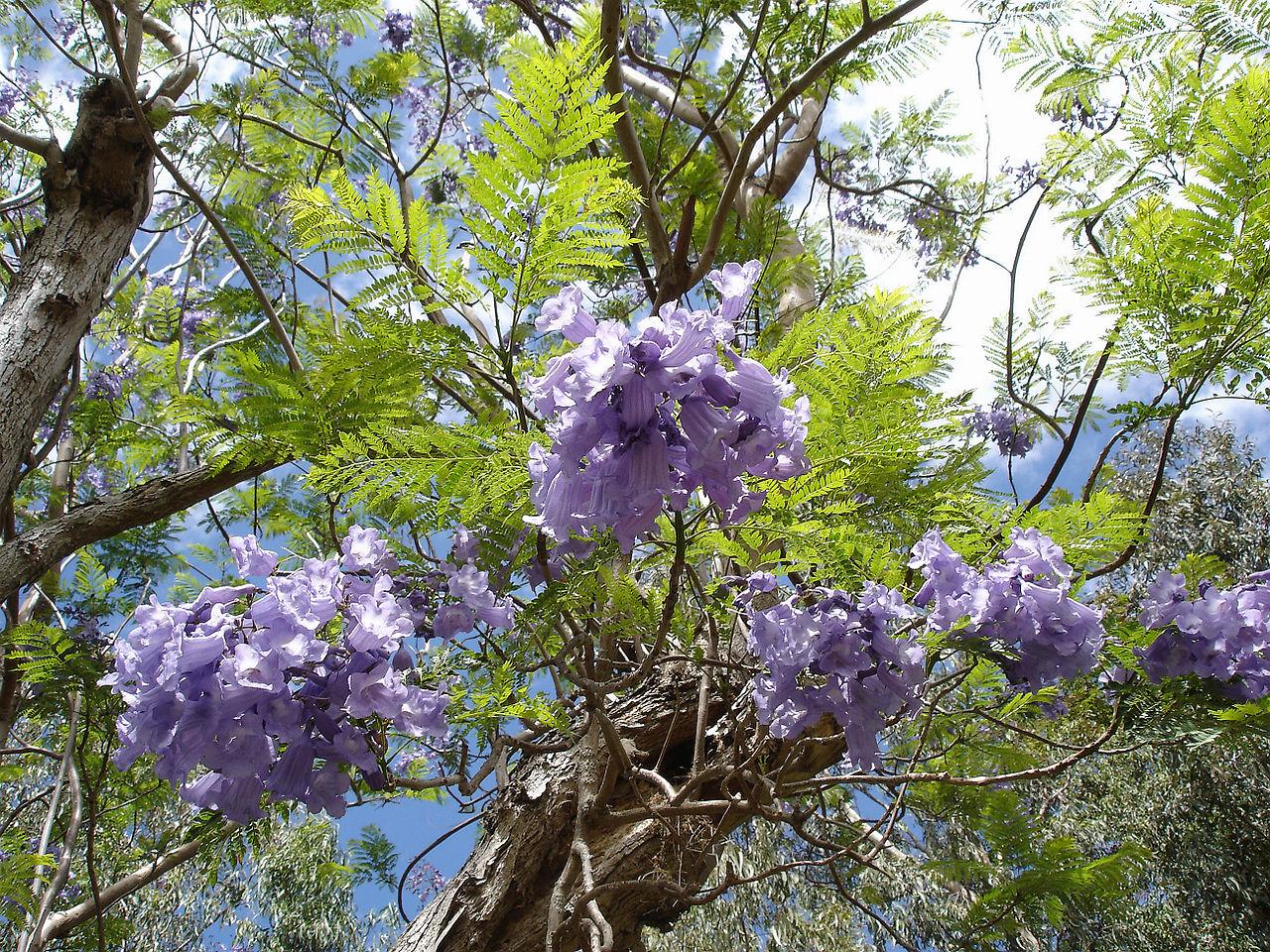 Teakbaum frucht  Kinderweltreise ǀ Guatemala - Pflanzen in Guatemala